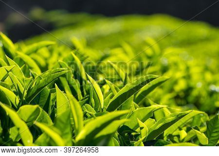 Fresh green tea bud and leaves close-up, tea plantation in Munnar, India.