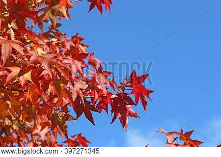 Red Maple Autumn Leaves In Close Up
