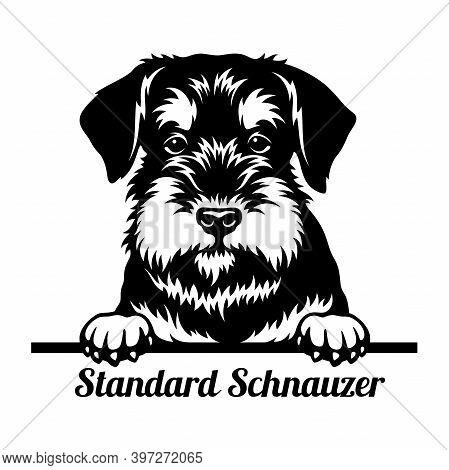 Standard Schnauzer Peeking Dog - Head Isolated On White