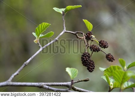 Sticky Alder Is A Deciduous Deciduous Tree From The Birch Family. It Usually Grows To A Height Of Ab