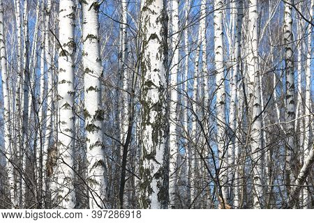 Young Birches With Black And White Birch Bark In Spring In Birch Grove Against Background Of Other B