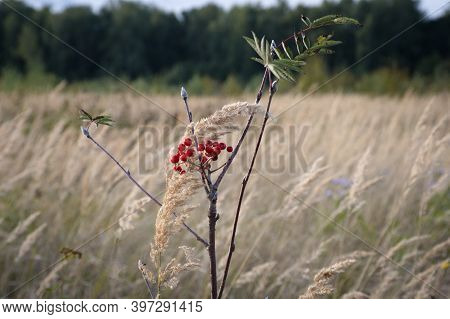 Rowanberry Branch On The Background Of The Meadow. This Rowan Bush Is The Only One In The Meadow