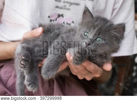 Gray Fluffy Kitten In The Hands Of A Girl