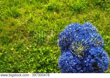 Blue Onion (allium Caeruleum) Is Species Of Perennial Herbaceous Plants Of Genus Allium Of Amaryllid