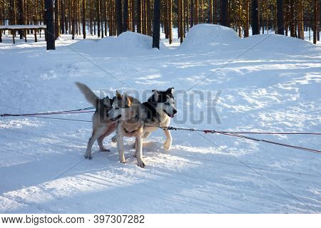 Husky sled carrying a sleigh. The sun is low on the horizon. Travel to Santa Claus. Short winter day in the Lapland.  Exotic trip to the Arctic.