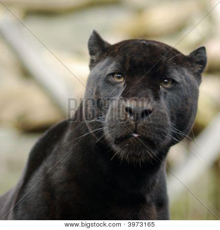 Curiosity And The Puma