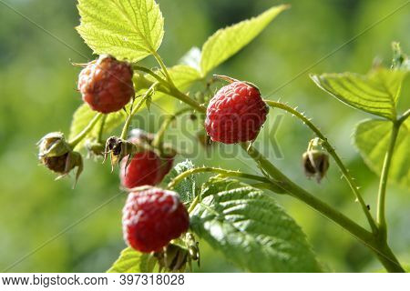 Photography For Whole Ripe Berry Red Raspberry, Green Stem Leaf For Medicament Medicine. Raspberry P