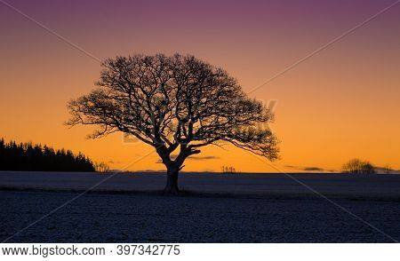 A Beautiful Single Oak Tree In The Winter Morning Before The Sunrise. Early Winter Scenery During Da