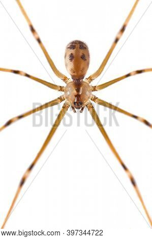 Spider closeup on the wall, long legs