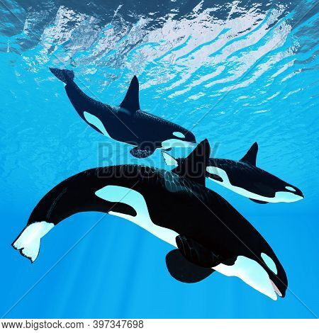Killer Whale Trio 3d Illustration - Three Male Bull Orca Whales Swim Together Near The Surface Of Th