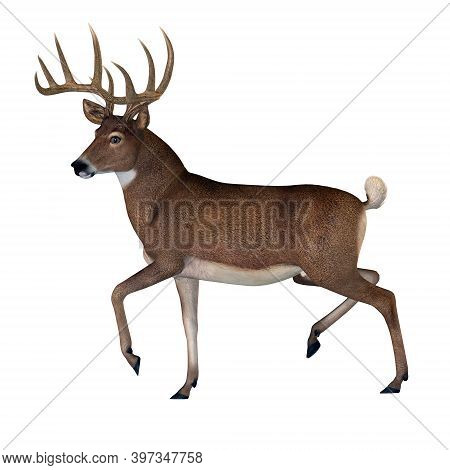 Whitetail Buck 3d Illustration - The Herbivorous White-tailed Deer Lives In North And South America