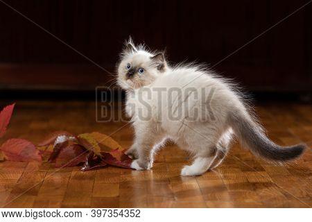 Fluffy Kitten Indoors. Bicolor Rag Doll Cat