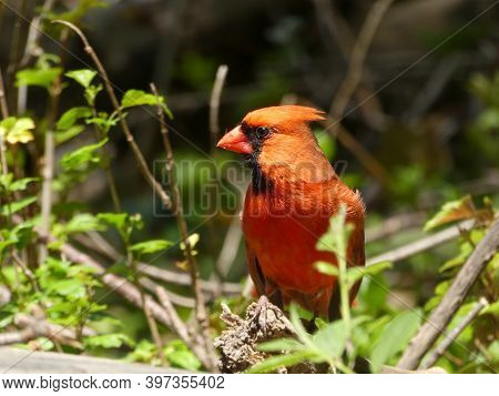 Red Cardinal Bird Sitting On The Branch