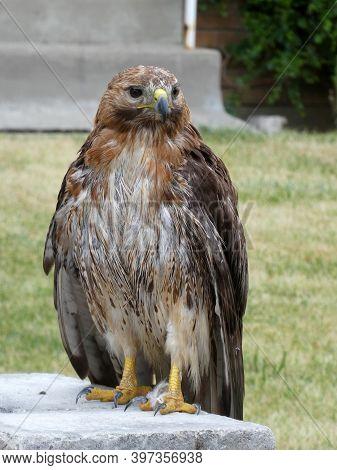 Wild Big Falcon Sitting On The Stone