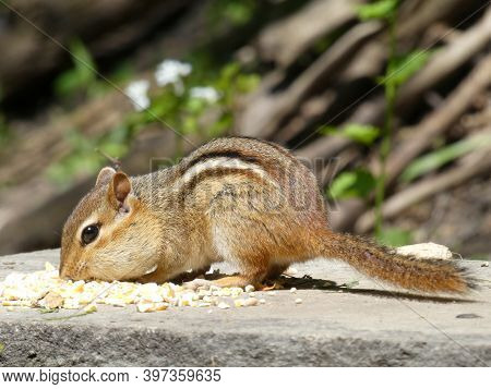 Chipmunk Sitting On The Stone And Eating Seeds
