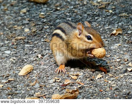 Chipmunk Sitting On The Trail And Eating Nuts