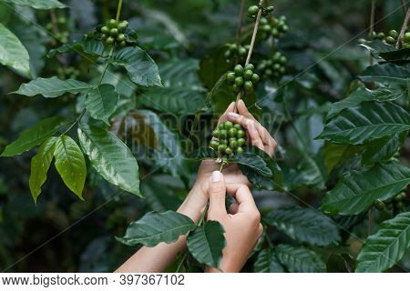 Green Arabica Coffee Fruits In Tender Woman Hands. Harmony With Nature