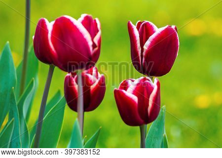 Close Up Of Red Striped Tulips. Beautiful Nature Background In Spring. Shallow Depth Of Field