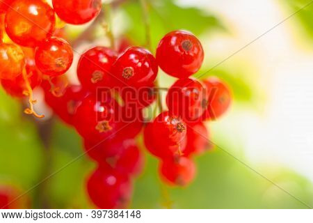 A Branch Of Ripe Red Currant In The Garden. Red Sweet Berries Grow On A Red Currant Bush In The Orch