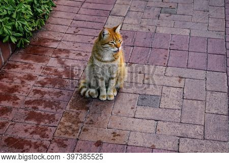Red Sly Funny Cat Shows Tongue. Handsome Furry Pet Sitting And Grinning On The Sidewalk
