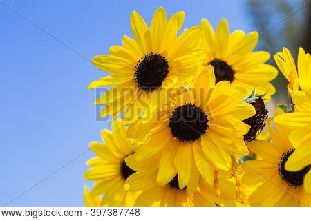 Sunflower. Colorful Flower. Flower In Garden At Sunny Summer Or Spring Day. Flower For Postcard Beau