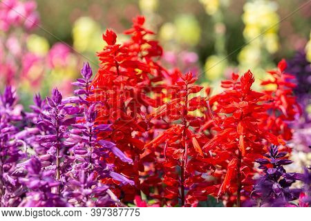 Salvia Flowers. Colorful Flower. Flower In Garden At Sunny Summer Or Spring Day. Flower For Postcard