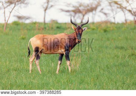 Swayne's Hartebeest Antelope, Ethiopia Wildlife