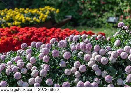 Pompom Chrysanthemums Flower. Colorful Flower. Flower In Garden At Sunny Summer Or Spring Day. Flowe