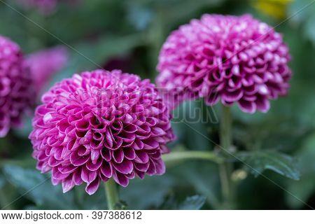 Pompom Chrysanthemums Flower. Colorful Flower. Flower In Garden At Sunny Summer Or Spring Day. Flowe