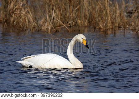 The Whooper Swan (cygnus Cygnus) On Water. A White Swan With A Yellow Beak On The Clear Blue Surface