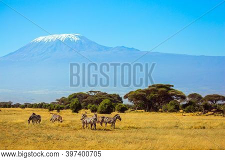 Herd of striped zebras graze in the savannah. The peak is Mount Kilimanjaro with a snow cap on a flat top. Trip to the Horn of Africa, Kenya. Southeast Kenya, the Amboseli park