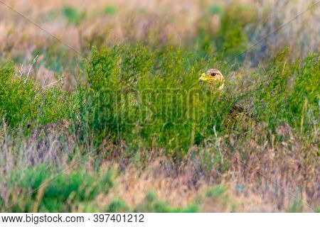Steppe Eagle Hiding In The A Grass.