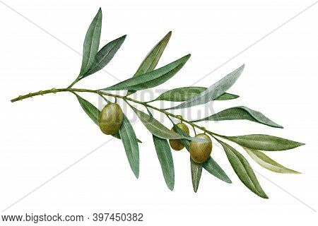 Olive Branch With Green Olives Watercolor Illustration Isolated On White Background