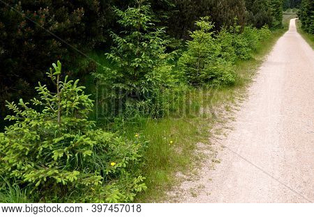 Rejuvenation Of Spruce Which Is Light-loving Always Takes Place On Pastures And Along Paths Where Se