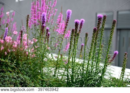 Název	 Lush Flower Bed With Sage Blue And Purple Flower Combined With Yellow Ornamental Grasses Lush