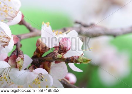 Apple Tree Blossom Flower On Branch At Spring. Beautiful Blooming Flower Close Up On Green Nature Ba