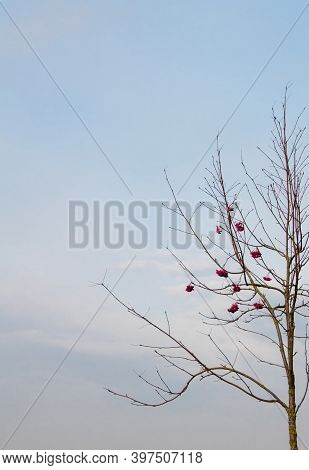 Naked Tree Branch With Red Berries At Noon