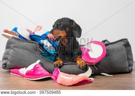 Disobedient Dachshund Made A Mess, Collected Home Slippers Of Owner In Pet Bed And Tore Them Up, Now