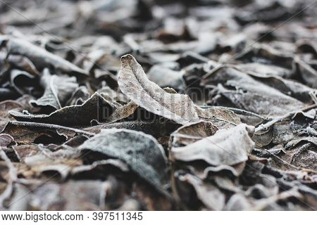 Frozen Leaves Close Up. Winter In The Garden. Background From Frozen Leaves. Nature