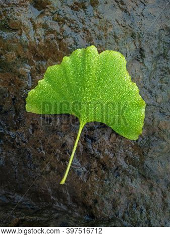 A Green Leaf Of The Relict Plant Ginkgo Biloba Lies On A Wet Stone. Good Luck Sheet.