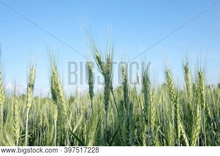 In Selective Focus Ears Of Barley Rice Growing In A Land In The North Of Thailand Against Blue Sky I