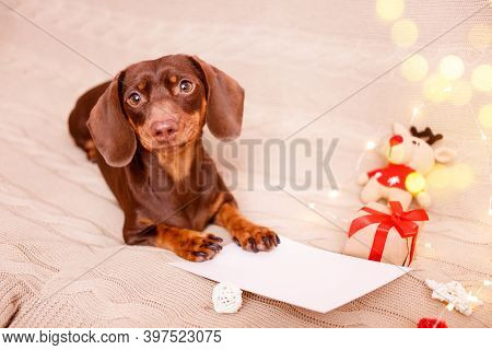A Dachshund Puppy Lying On The Couch With A Christmas Wish List. Christmas Greeting Card Winter Conc