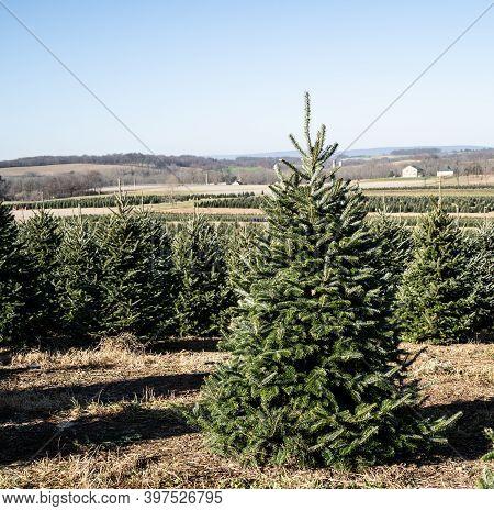 Beautiful Christmas Tree In Field At Tree Farm.