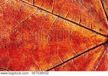 Red Colored Dry Maple Leaf With A Beautiful Texture. Leaf Surface Close-up.