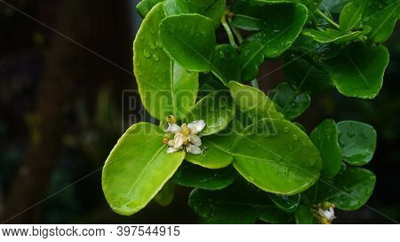 Flowers Kaffir Lime Or Citrus Hystrix In A Tree. Focus Selected, Blurry Green Leaves Background