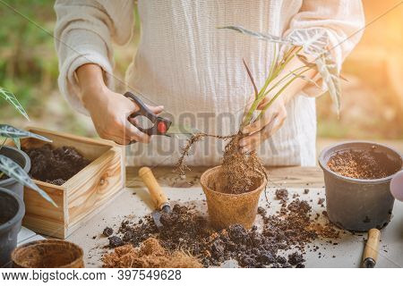 Woman Is Planting Trimming The Roots To Grow In New Pot. Hobbies And Leisure, Home Gardening, Cultiv