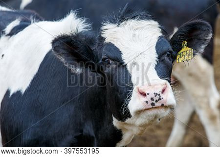 Livestock Farm. Close-up. Black And White Cow Stands In The Pasture Against The Background Of Hay An