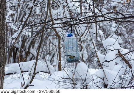 The Titmouse Feeds In Winter In A Plastic Bottle Feeder. Feeder In The Winter Park. People Help Bird