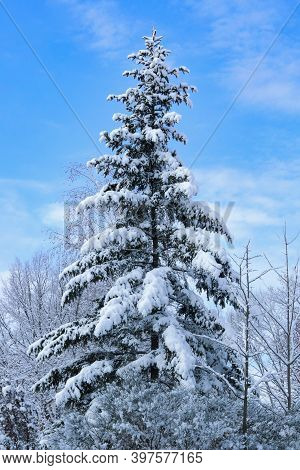 A Huge Christmas Tree Strewn With Snow In The Forest On A Sunny Winter Day. Christmas And New Years