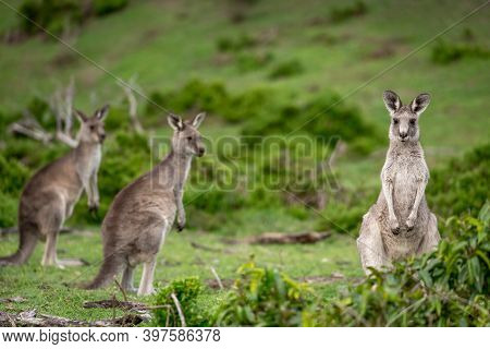 Three Furry Grey Kangaroos In Australian Bushland